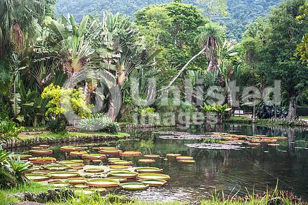 Victoria Regia - the largest water lily in the world, Botanical Garden of Rio de Janeiro, Brazil