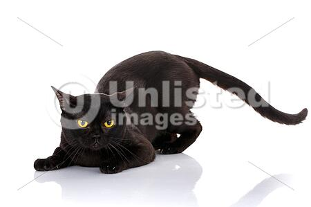 Black Cat Bombay On A White Background Sat In The Front Paws. Preparing To Attack. Predator Style